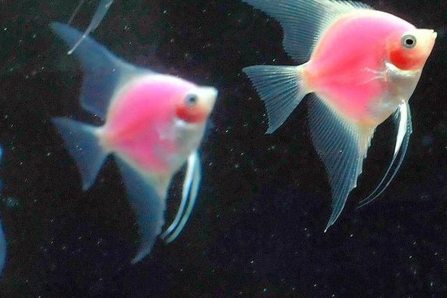 Die Fische in einem neuen Aquarium