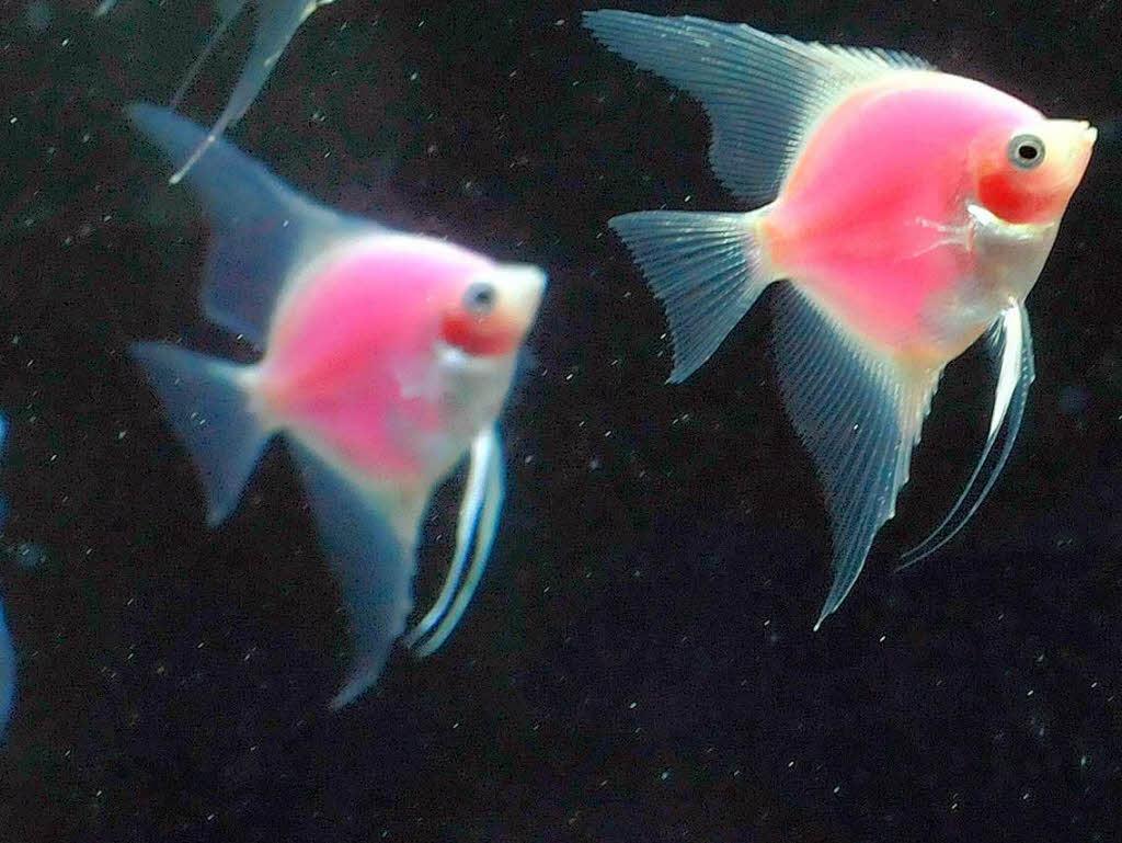 Die Fische in einem neuen Aquarium - Zisch-Texte - Badische ...