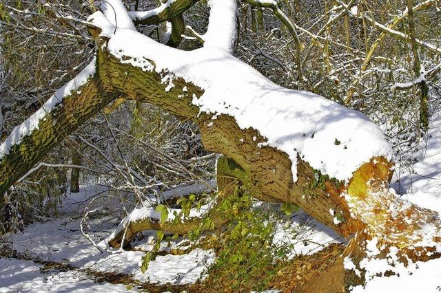 Biber fällen Bäume - Wanderweg muss gesperrt werden