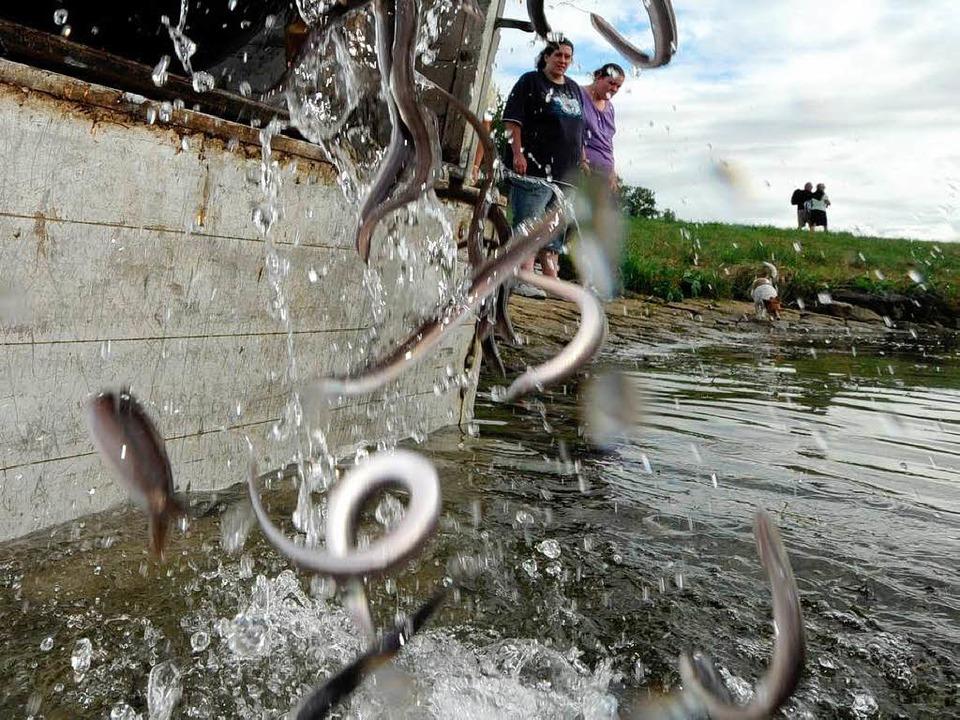 Nicht nur in den Mühlbach, auch in den...; werden immer wieder Aale ausgesetzt.  | Foto: dpa