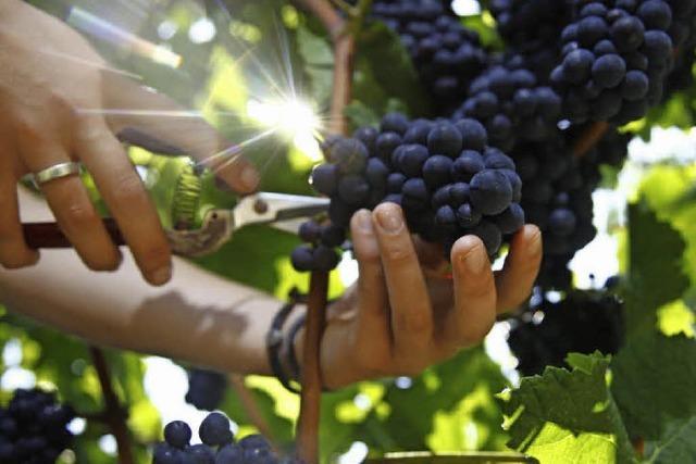 Ein Weinbaujahr – vergleichbar mit einer Achterbahn