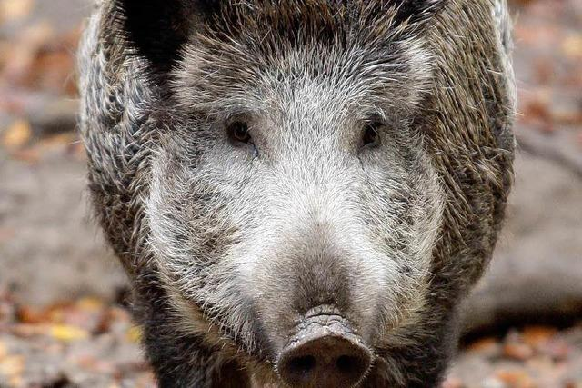 Gegen Wildschweine hilft nur – jagen, jagen, jagen