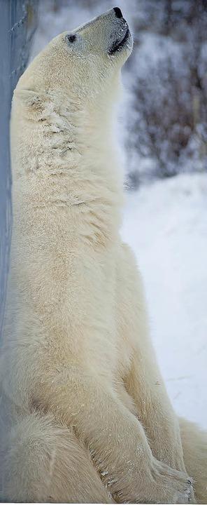 Eisbären-Yoga? Entspannt trotz Kälte  | Foto: Birgit-Cathrin Duval bcmpress
