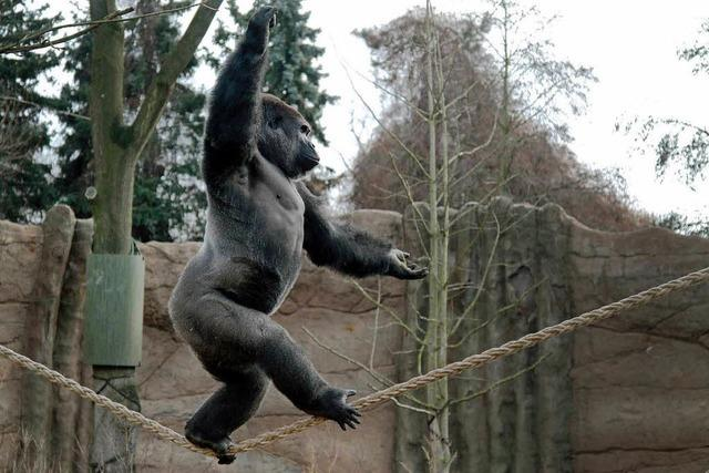 Gorilla tanzt in Krefelder Zoo auf dem Seil