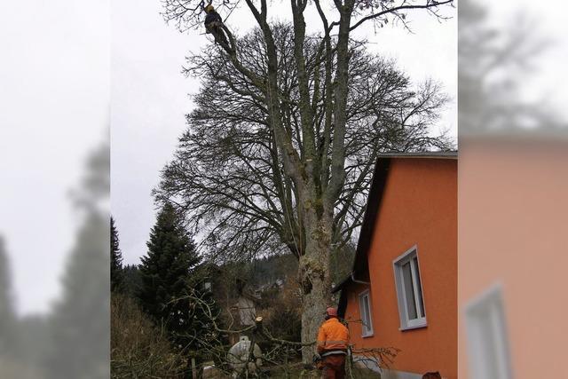 In Friedenweiler tragen Spezialisten eine 24 Meter hohe Esche ab