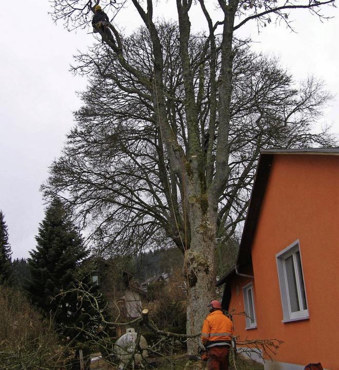 Der Baum steht direkt am Haus – ...ebäude beschädigt wird,  ist zu groß.     Foto: Liane Schilling