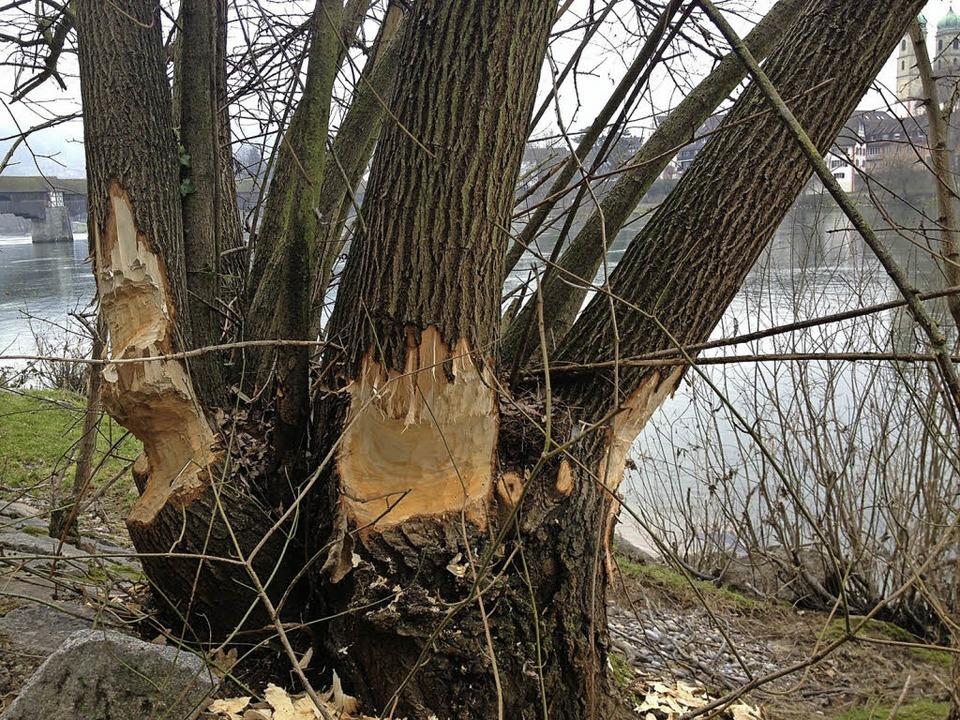Beim fleißigen Anknabbern dieses Baume...das Bad Säckinger Münster bewundern.    | Foto: Holger Knöferl/dpa