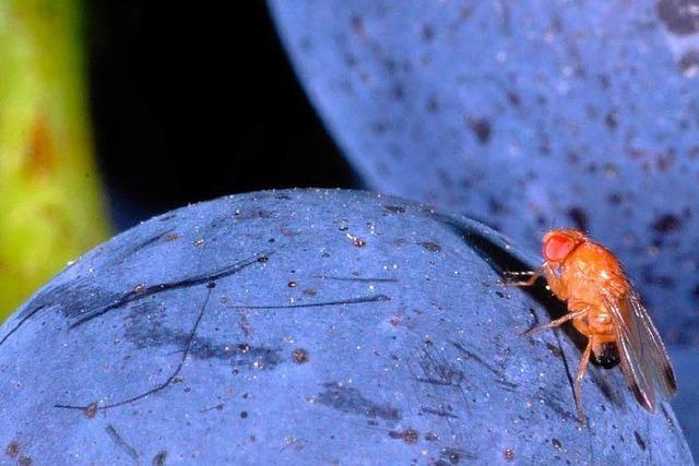 Die für Obst- und Weinbau gefährliche Kirschessigfliege hat den Kaiserstuhl erreicht