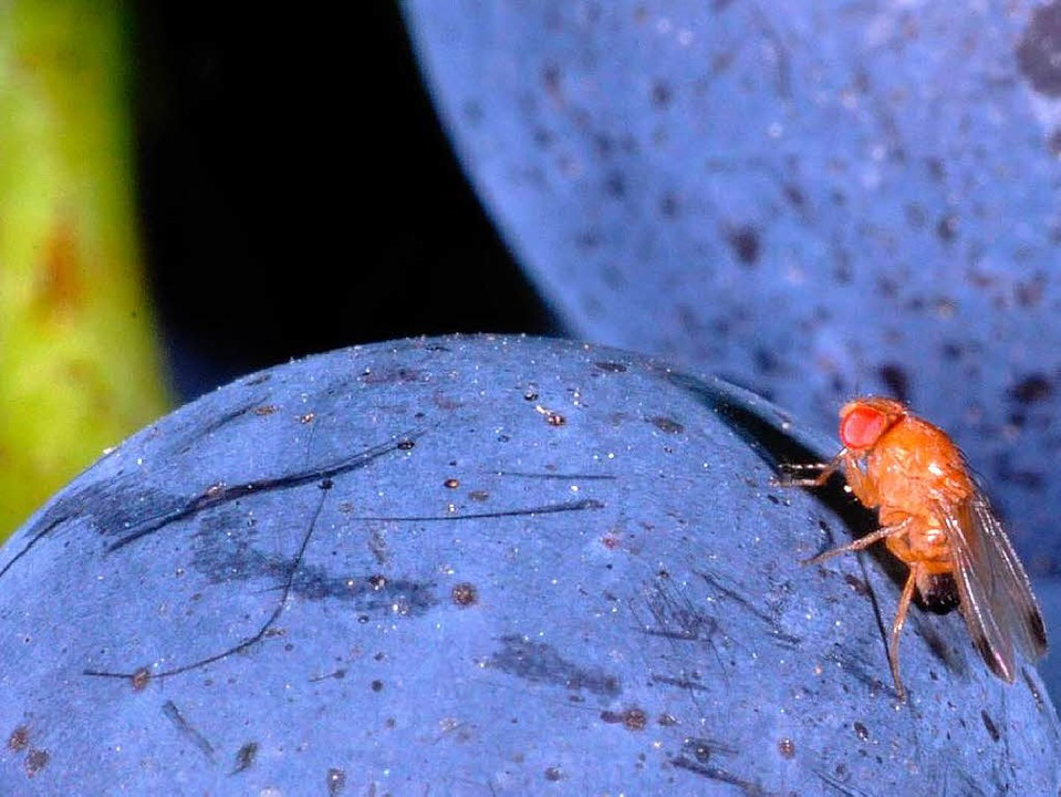 Kirschessigfliegen legen ihre Eier vor...ie Haut von  reifen, dunklen Früchten.  | Foto: Staatliches Weinbauinstitut