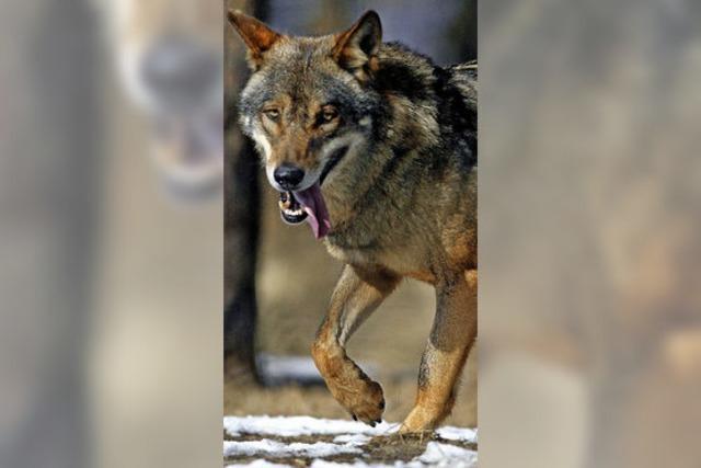 Wolfsbestand soll drastisch dezimiert werden