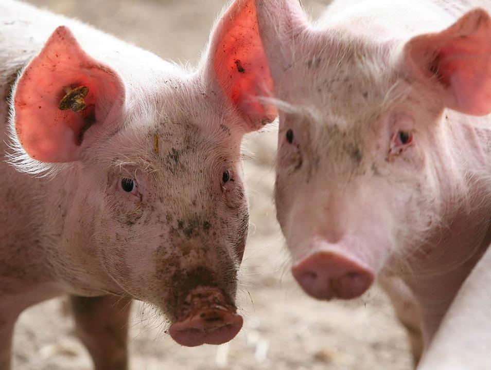Ein Exportschlager: deutsche Schweine    Foto: Henning
