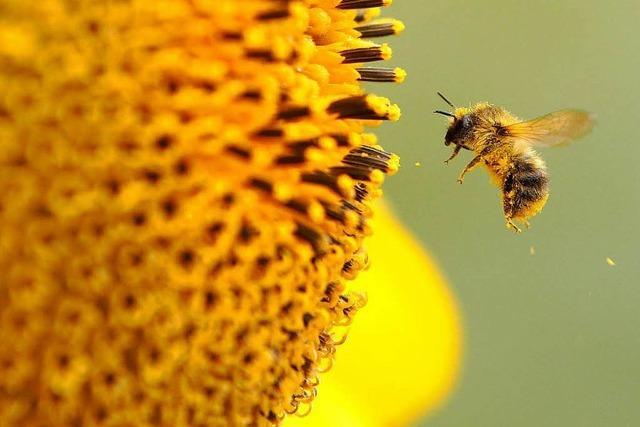 EU-Behörde warnt: Insektizide bringen Bienen in Gefahr