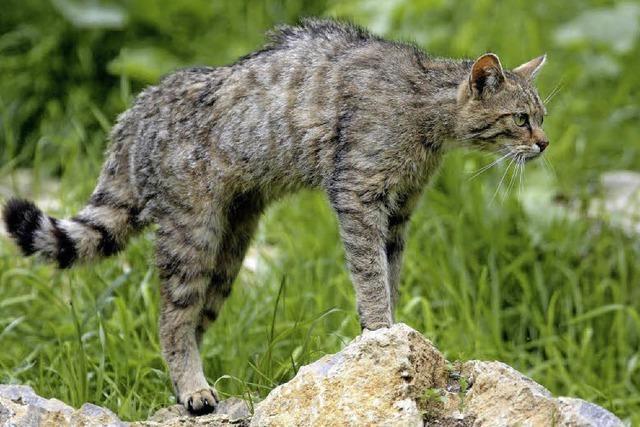 BUND installiert Fotofalle für Wildkatzen