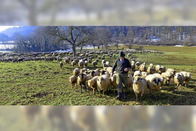Schafherde auf Tour