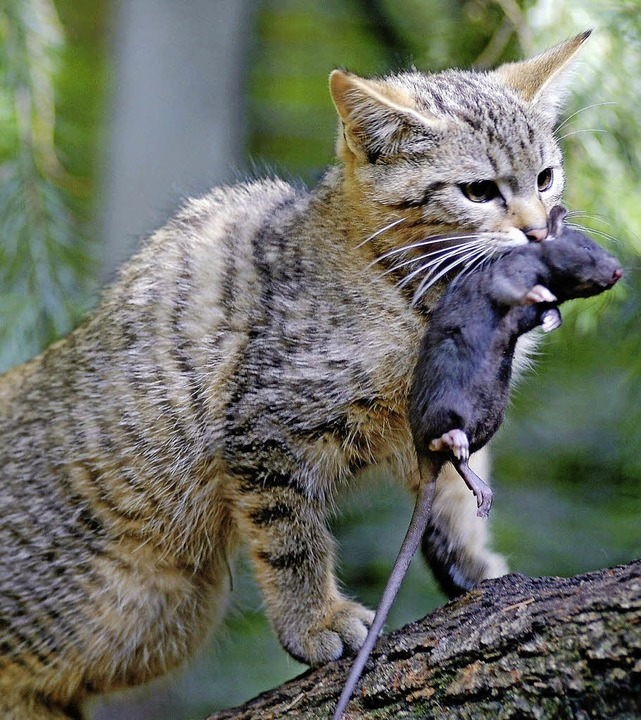Die Wildkatze ist (wieder) da.  | Foto: dpa/horst pfeifer