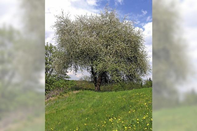 Der vergessene Ahne des Apfelbaums