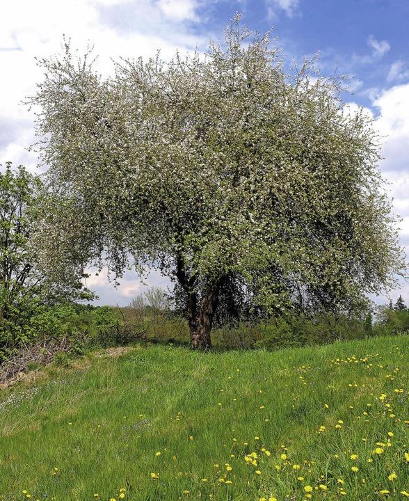 Der Holzapfel ist der Baum des Jahres 2013   | Foto: Klaus Nasilowski