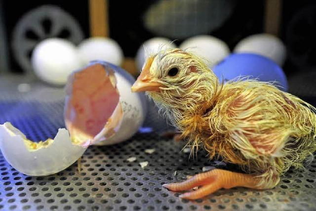 Küken unterm Ei-Föhn