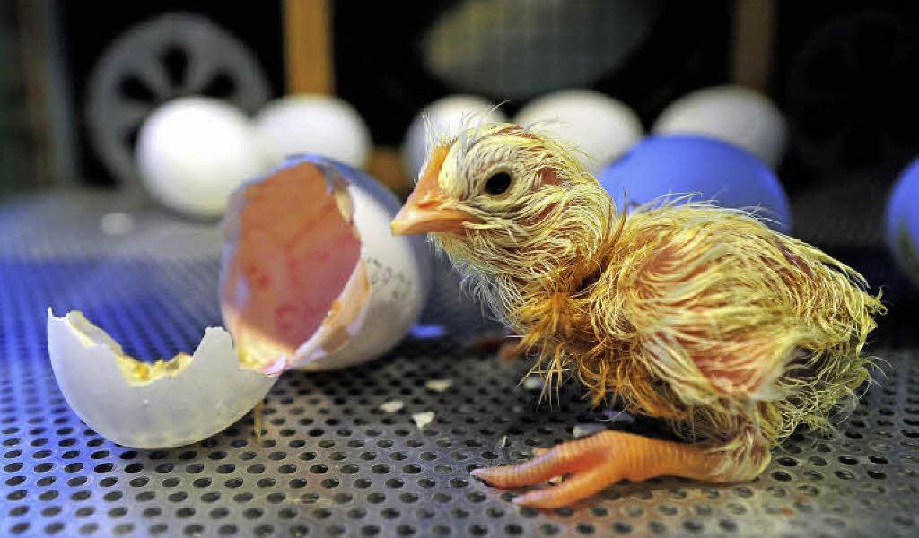 Küken Im Ei