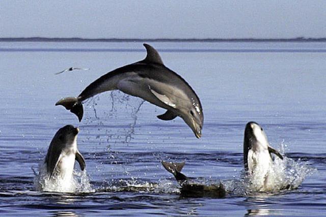 BADISCHE-ZEITUNG.DE: Delfinhorde