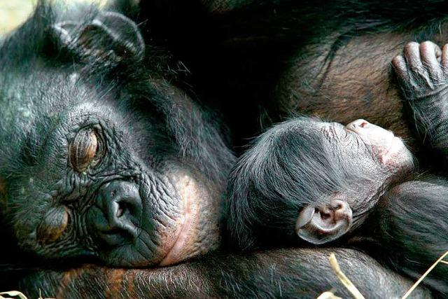 Schimpansen im Basler Zolli: Bananen für Liebesdienste