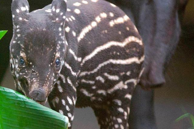 Name für Tapir-Junges gesucht