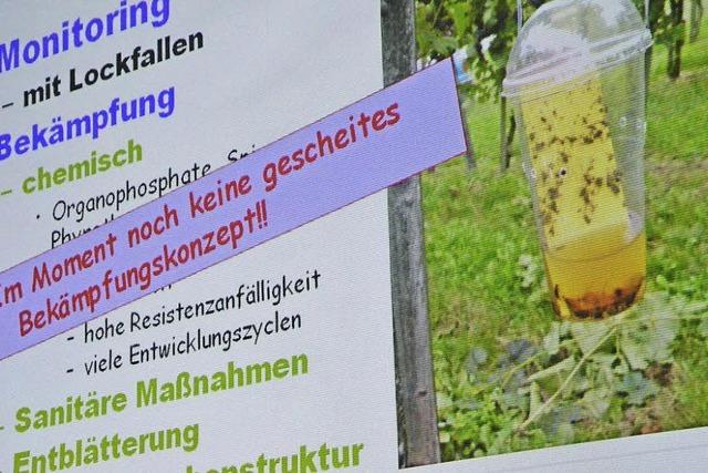 Fiese Fliege verdirbt Obst