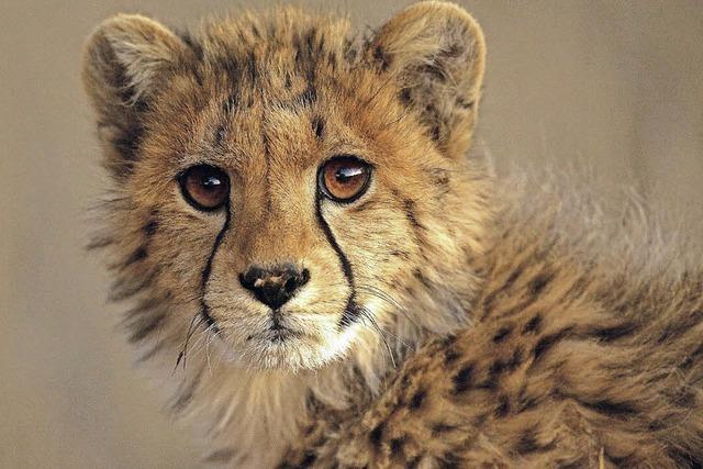 Gewinnspiel: Multivisionsshow über die Geparden der Kalahari