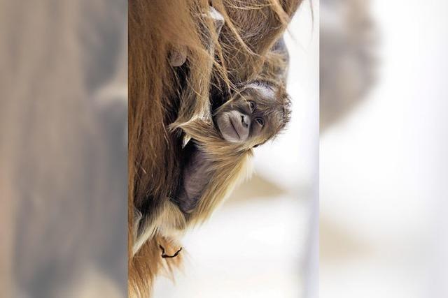 Affenbaby verzückt Publikum