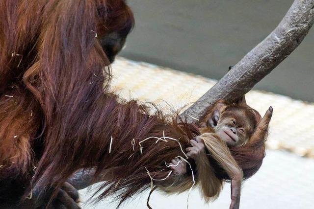 Süßes Orang-Utan-Baby