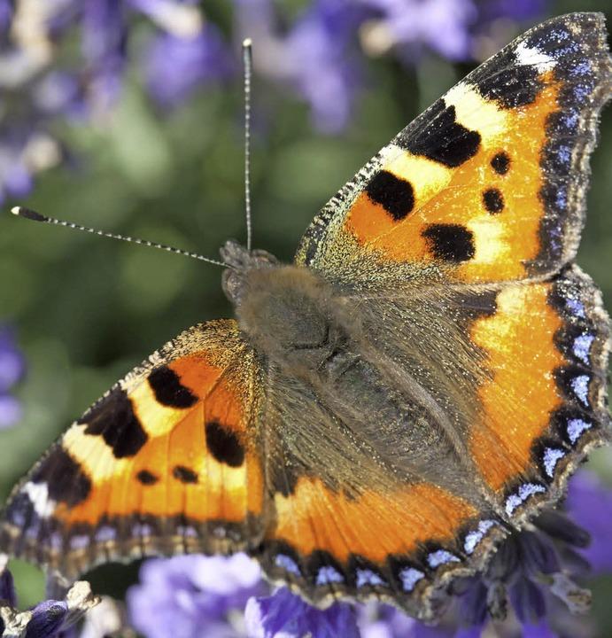 Blickfang für Jung und Alt: Wer an sei...t gärtnert, lockt Schmetterlinge an.    | Foto: Reichel/dpa, Anita fertl