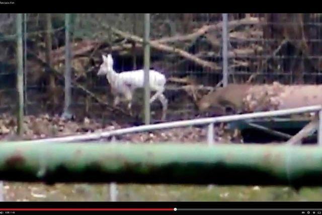 Sportler filmt weißes Reh in Weil am Rhein