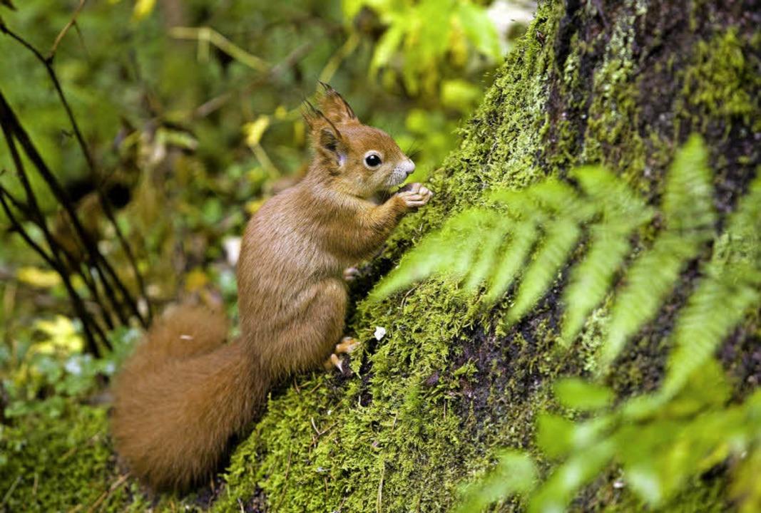 Cleveres Eichhörnchen: Erst Nüsse stibitzen und sich dann am Baum verstecken.  | Foto: Anita Fertl