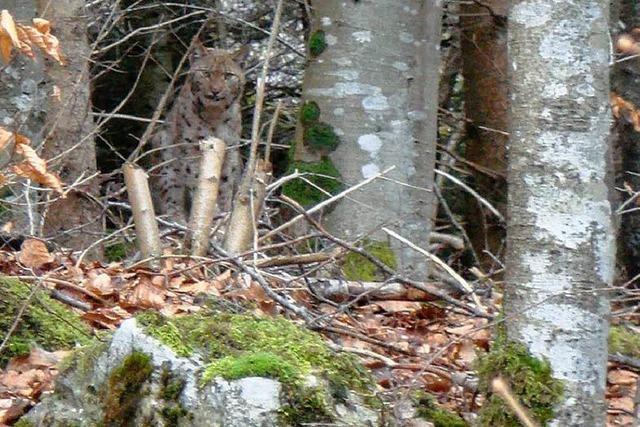 Warum Experten glauben, dass die Luchsfotos aus dem Schwarzwald echt sind