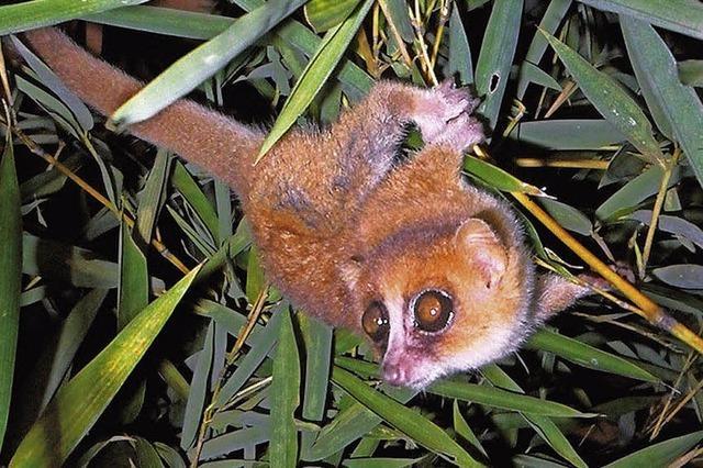 Neue Primatenarten auf Madagaskar aufgespürt