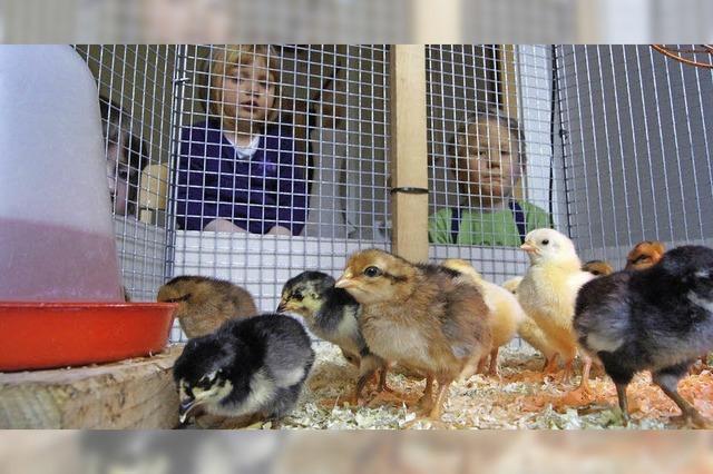 Osterküken piepten im Kindergarten