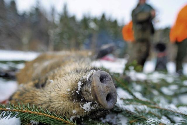 Wildschweine sind verstrahlt