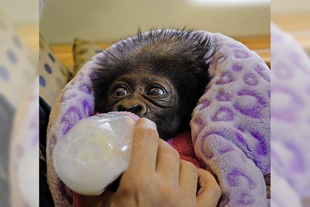 BADISCHE-ZEITUNG.DE: Gorilla-baby