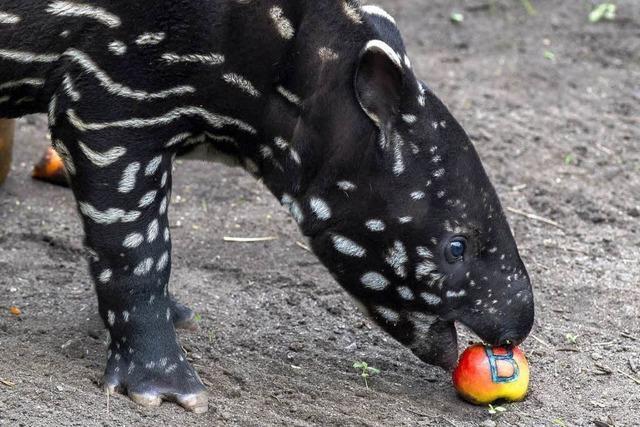 Kleiner Tapir heißt jetzt Baru
