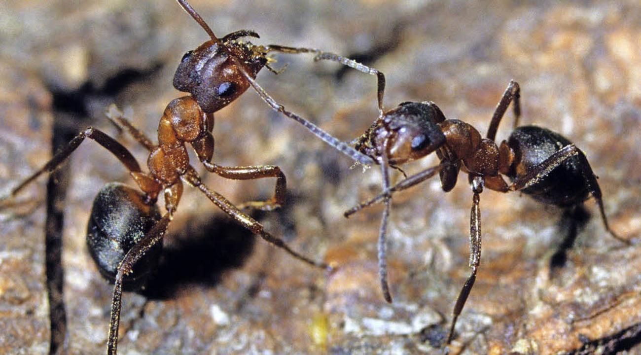 Über Ameisen hat Edward O. Wilson  viel geforscht.   | Foto: dpa
