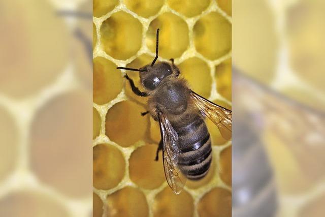 Flotte Bienen lieben das urbane Umfeld