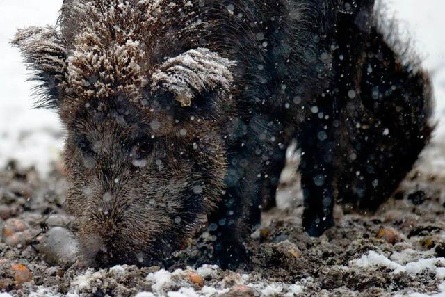 Wildschweinfleisch im Kreis Emmendingen ist radioaktiv verseucht