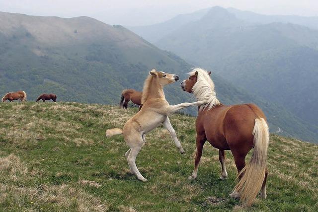 Die wilden Pferde von Bisbino: Fluchtgefahr