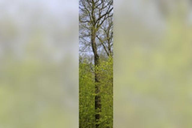 Eichen werden Naturdenkmal
