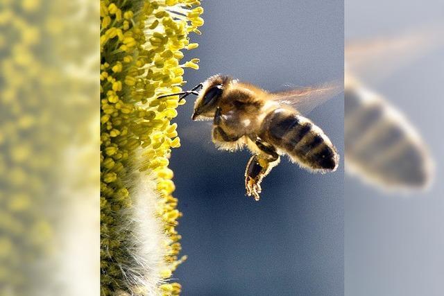 In welcher Gefahr schweben Europas Bienen?