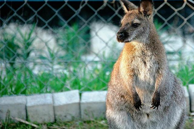 Autofahrer sichtet Känguru Sally