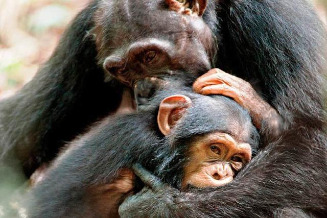 Schimpansen – beeindruckend und umstritten