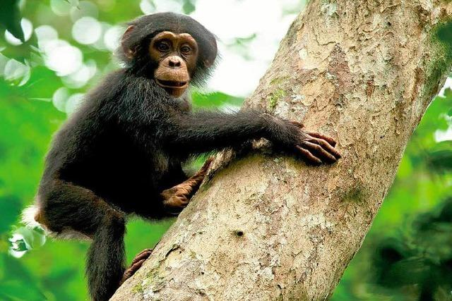 Forscherin verteidigt Disneys Schimpansen-Film