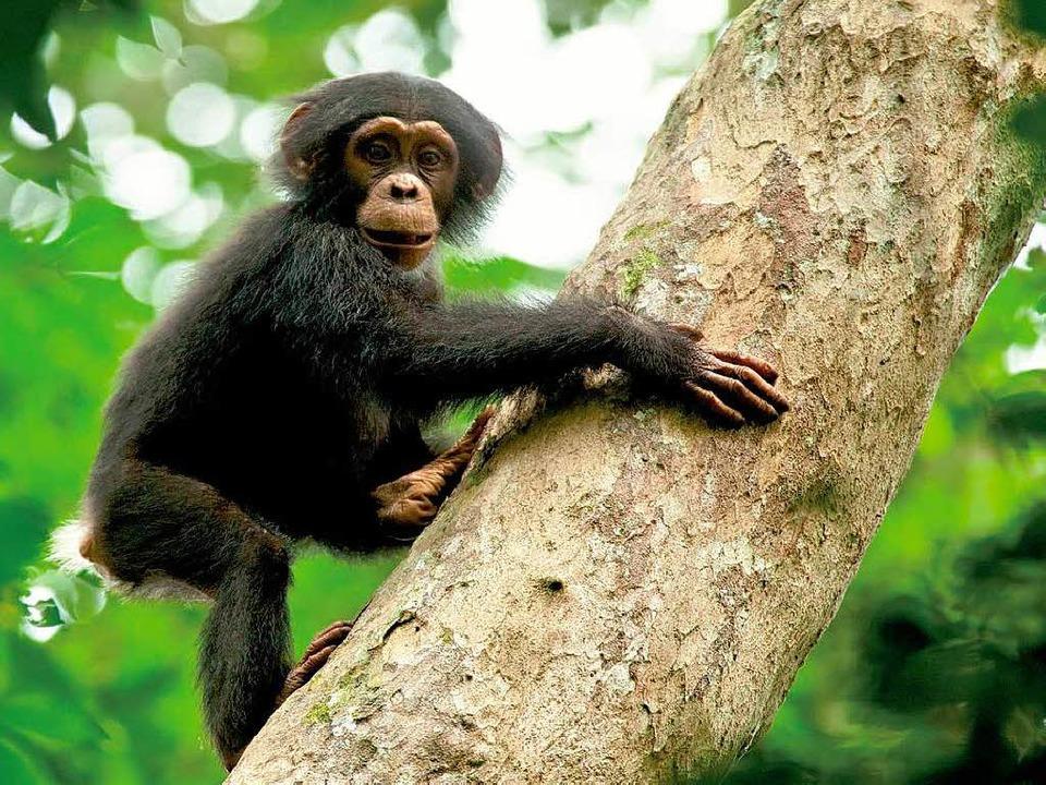 Schimpanse Oscar auf dem Weg nach oben   | Foto: Fotos: Disney