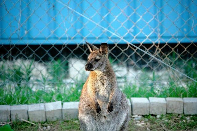 Känguru Sally ist wieder zuhause